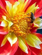 Un meraviglioso fiore rosso - fiori di Bach