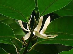 Corso di Aromaterapia | Michelia champaca attar
