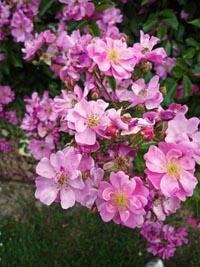 corso di aromaterapia | olio essenziale di rosa