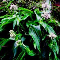 Aromaterapia antica:  l'olio essenziale di Nardo