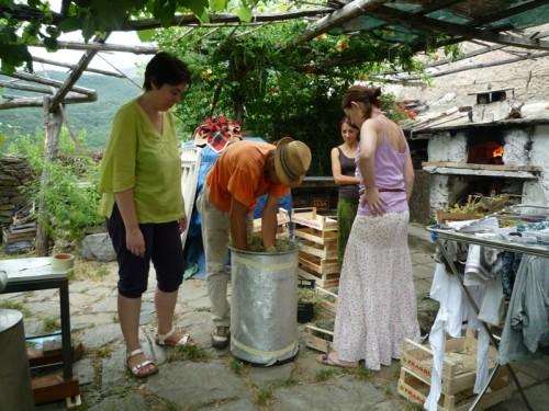 Preparazione della distillazione di olio essenziale di elicriso