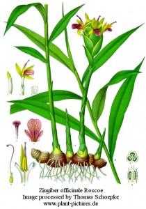 Olio essenziale di Zenzero in Aromaterapia