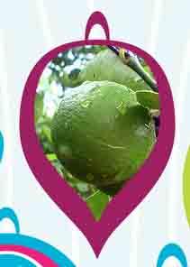 Aromaterapia e oli essenziali, l'olio essenziale di Lime