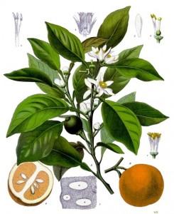 Aromaterapia, Citrus aurantium Olio essenziale di Arancio amaro
