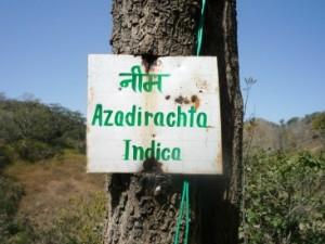 Olio di Neem in Ayurveda e Aromaterapia
