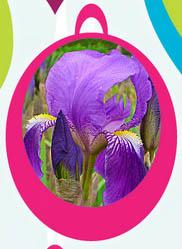 Aromaterapia e olio essenziale di Iris florentina e Iris pallida