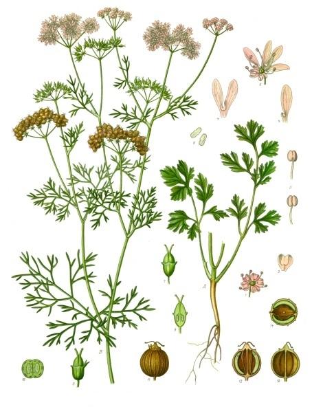 Olio essenziale di Coriandolo in Aromaterapia, Coriander essential oil