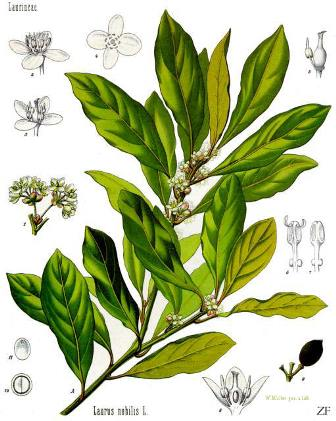 Alloro aromaterapia e profumeria botanica