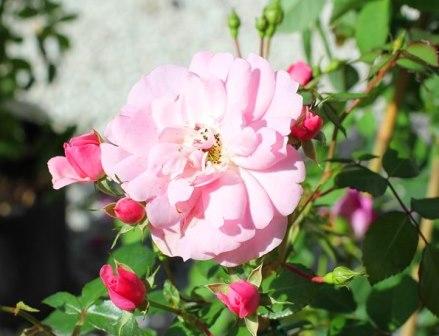 Olio essenziale di Rosa damascena in Aromaterapia