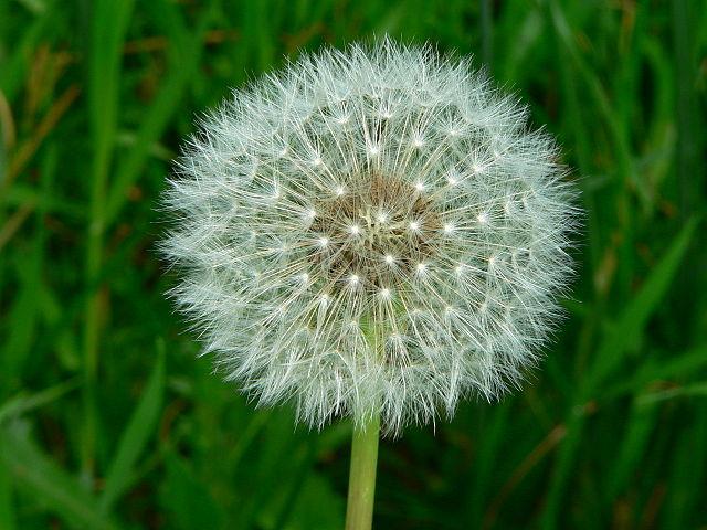 Tarassaco, Dandelion dei fiori californiani per gli stati emozionali