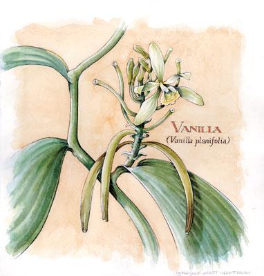 Oleoresina di Vaniglia in PsicoAromaterapia
