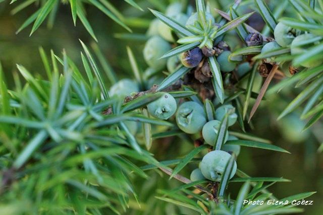 Olio essenziale di Ginepro e Aromaterapia