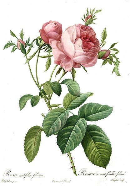 Rosa centifolia in Aromaterapia