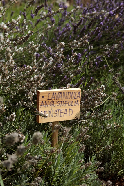 Aromaterapia e Lavandula angustifolia Munstead