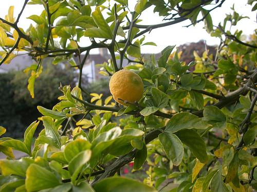 petit grain citrus aurantium