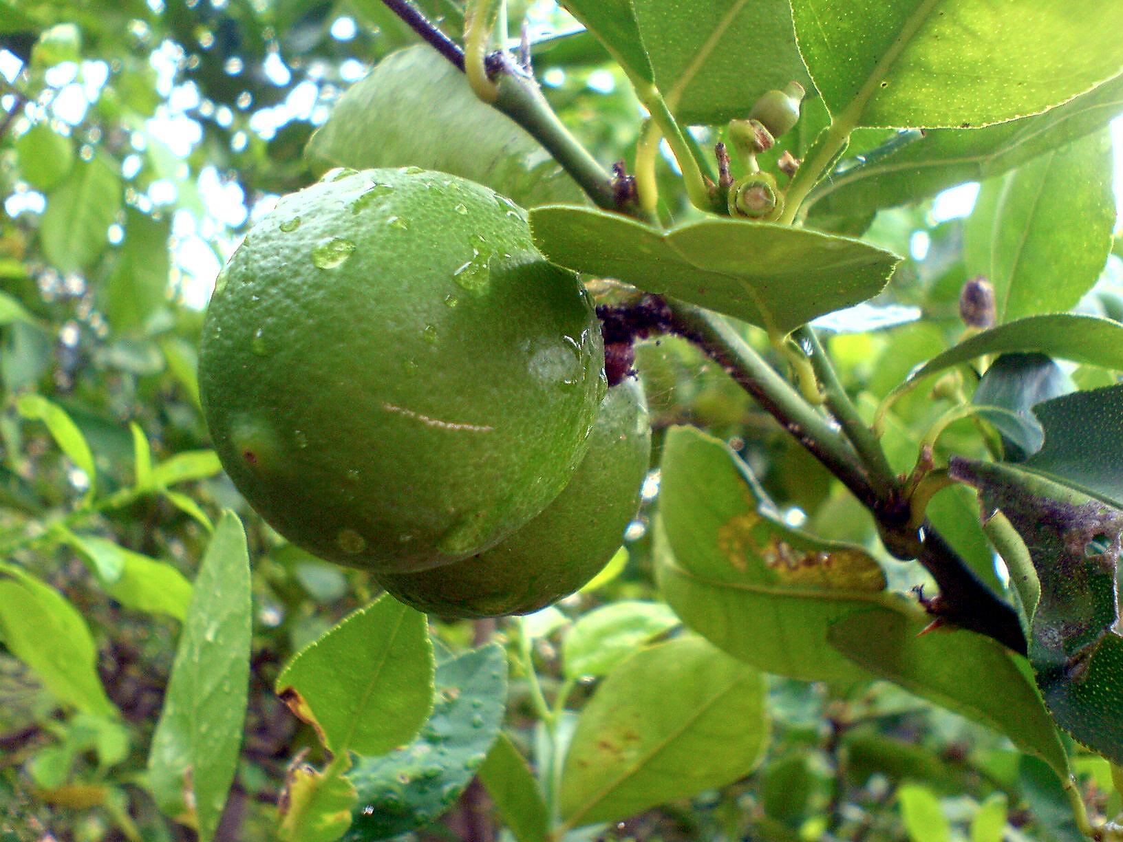 citrus_xaurantiifolia927505341
