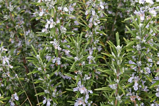 Olio essenziale di Rosmarinus officinalis chemotipo verbenone