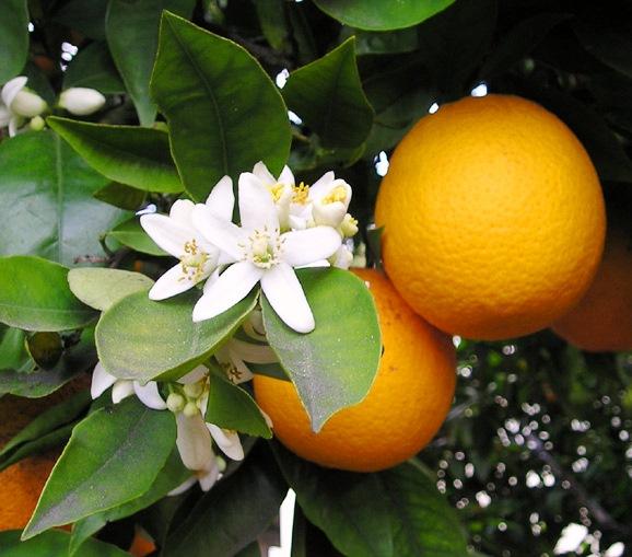 citrus sinensis aromaterapia emozioni