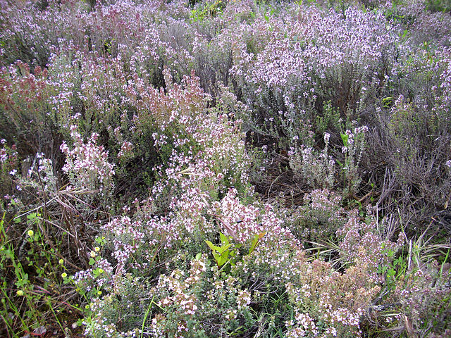 thymus vulgaris aromaterapia