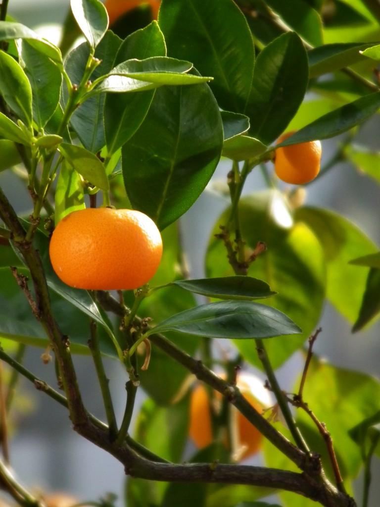 mandarino aromaterapia
