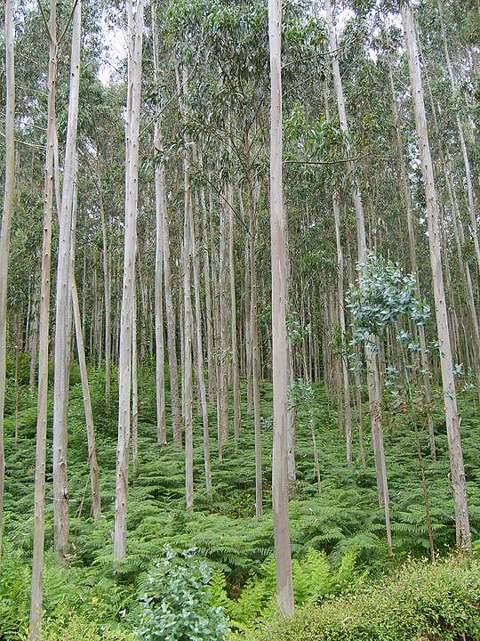 eucaliptus globulus aromatherapy