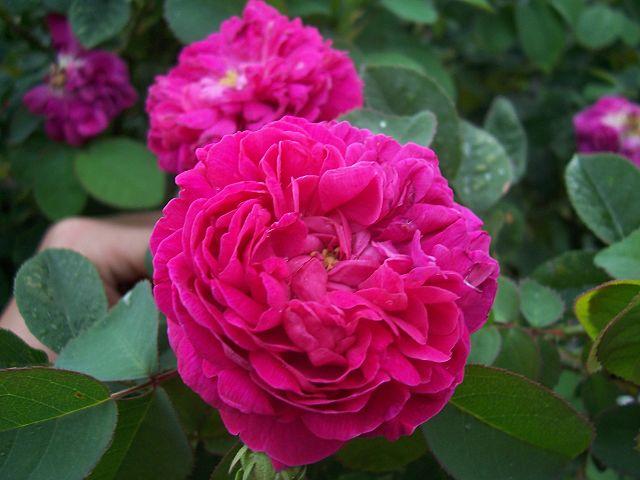 rosa aromaterapia
