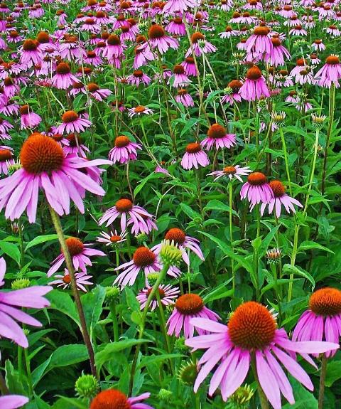 echinacea purpurea phytotherapy