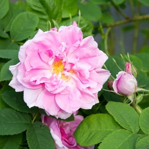 rosa damascena essential oil