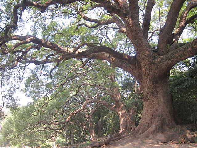 albero canfora legno di ho